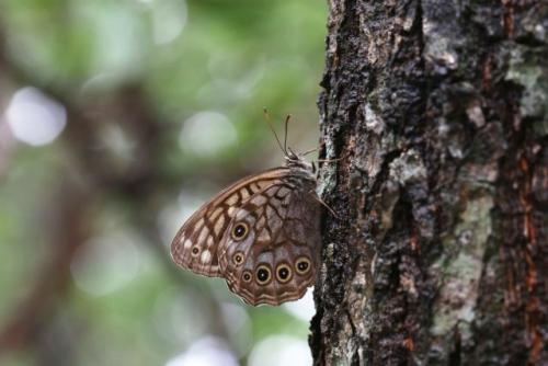 A copper butterfly sips on an oak tree in Mt. Kariwang-san