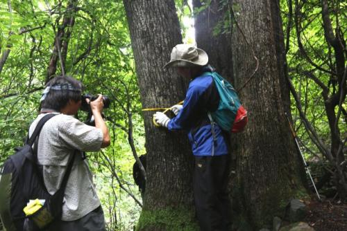 Conservationists measure the chest-height diameter of an oak standing in the way of a planned ski run