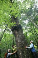 This giant oak (Quercus mongolica) on Mt. Kariwang-san is probably one of the oldest of the species in the country
